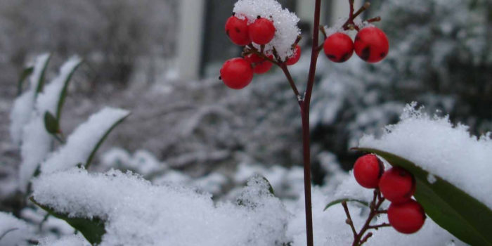 DEC 2019 Berries and Snow 1400x700
